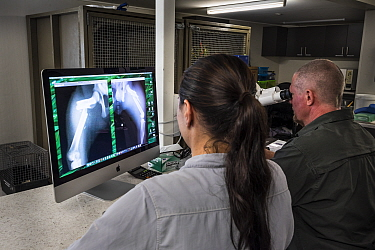 ?Veterinarian and koala expert Jon Hanger, and veterinary nurse Jo Loader, from the Endeavour Ecology Center, look at an x-ray of a Koala (Phascolarctos cinereus) whose leg has been broken from a car...