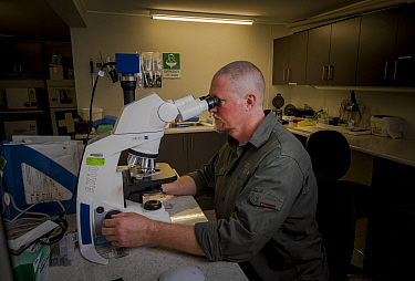 ?Veterinarian and koala expert, Jon Hanger from the Endeavour Ecology Center, looking at a slide with a Koala (Phascolarctos cinereus) blood sample. ?Toorbul, Queensland, Australia. ?April, 2017.  Ed...