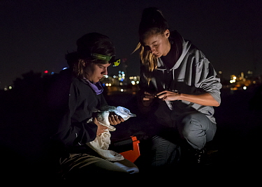 ?Researcher Ida Lundback (right), with the assistance of volunteer Naomi Wells (left), prepares to take a faecal sample from a captured Little Blue Penguin (Eudyptula minor) before returning it back t...