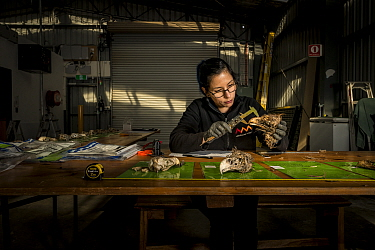 ?Leah Tsang, ornithological expert from the Australian Museum, examines evidence skulls to determine whether they are Wedge-tailed Eagles (Aquila audax) as part on an ongoing investigation around the...