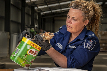 Wildlife Officer ?Abby Smith, from the Department of Land, Water and Planning (DEWLP) with an illegally traded Goldfields Shingleback Lizard (Tiliqua rugosa rugosa) that was discovered in a tin can wh...