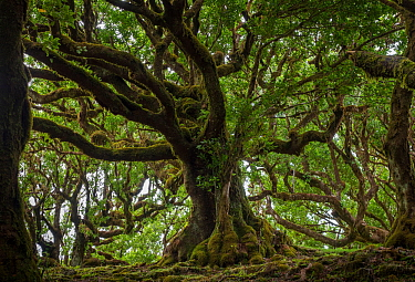 Til (Ocotea foetens) trees, Madeira island, Portugal. These trees are hundreds of years old.