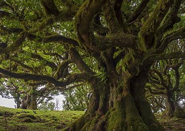Til (Ocotea foetens) trees, Madeira island, Portugal. These trees are centuries old.