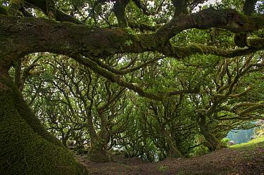 Til (Ocotea foetens) trees, Madeira island, Portugal, November. These trees are centuries old.