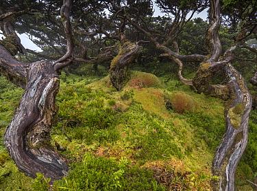 Azores laurel (Laurus azorica) or Laurisilva forest, Flores island, Azores, Portugal