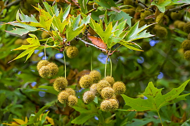 Oriental plane (Platanus orientalis) close up of fruits and leaves in autumn. Native to Eurasia, October