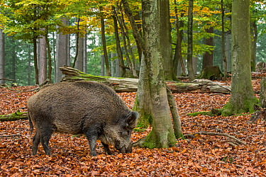 Wild boar (Sus scrofa) foraging in autumn forest by digging with snout in leaf litter in search for beech nuts in the Ardennes, Belgium. November