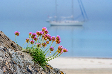 Sea thrift / sea pink (Armeria maritima) in flower and sailing boat anchored in the mist in front of sandy beach, Shetland, Scotland, UK. May