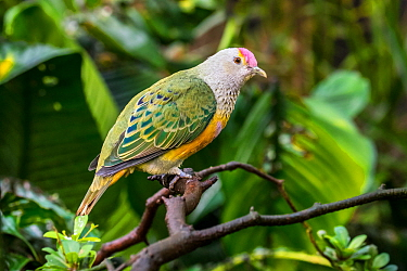 Rose-crowned fruit dove / Swainson's fruit dove (Ptilinopus regina) perched in tree, native to Australia and Indonesia. Captive