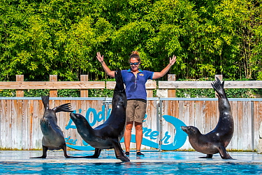 Three California sea lions (Zalophus californianus) performing with zookeeper at the French zoo ZooParc de Beauval, France, September 2018