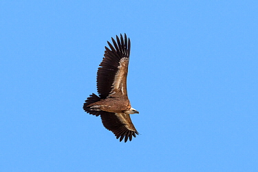 Griffon vulture / Eurasian griffon (Gyps fulvus) in flight, soaring against blue sky, Provence, France, September