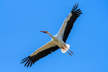 White stork (Ciconia ciconia) in flight thermal soaring with spread wings against blue sky, France.