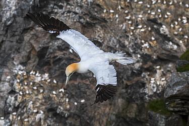 Northern gannet (Morus bassanus) in flight soaring along sea cliff at seabird breeding colony, Hermaness, Unst, Shetland Islands, Scotland, UK, May