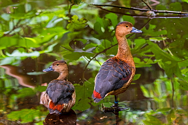 Lesser whistling duck / Indian whistling duck (Dendrocygna javanica) pair, native to Indian subcontinent and Southeast Asia. Captive