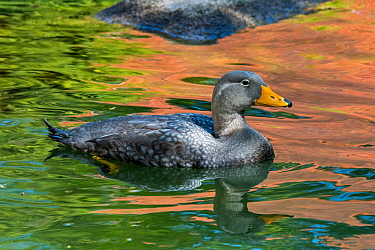 Fuegian steamer duck / Magellanic flightless steamer duck (Tachyeres pteneres) swimming. South America. Captive