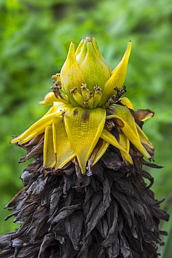 Chinese dwarf banana (Musella / Musa lasiocarpa) in flower, China. May