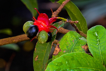 Mickey Mouse plant / Bird's eye bush (Ochna kirkii) showing drupelet fruit native to Tropical Africa. May