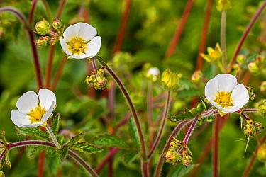 Rock cinquefoil (Drymocallis rupestris / Potentilla rupestris) in flower, nattve to Eurasia. May
