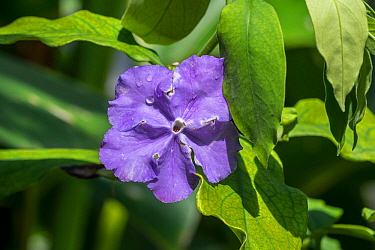 Brazil raintree (Brunfelsia pauciflora) in flower, endemic to Brazil. May