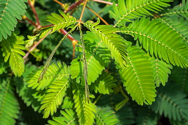 Sensitive plant (Mimosa pudica) close-up of leaflets folding inwards, native to South America and Central America. May