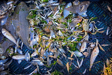 Shrimper's catch from shrimp drag net on the beach showing shrimps, crabs and fish like sole, lesser weever, mackerel caught along the North Sea coast, Belgium. June