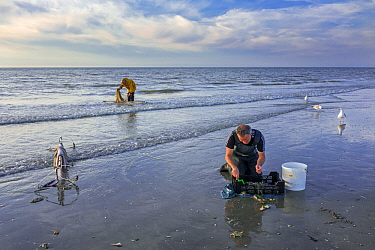 Shrimper sorting catch from shrimp drag net on the beach caught along the North Sea coast, Belgium. June