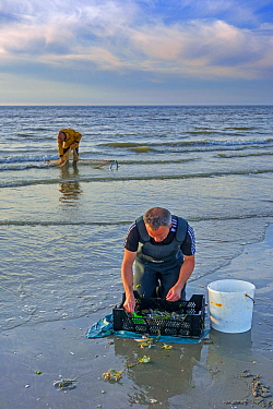 Shrimpers sorting catch from shrimp drag net / dragnet on the beach caught along the North Sea coast at dusk, Belgium. June