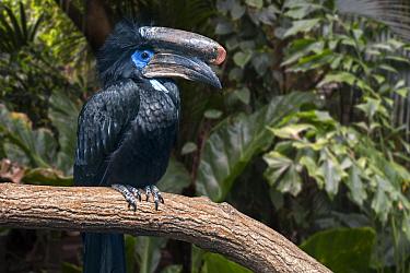 Black-casqued hornbill / black-casqued wattled hornbill (Ceratogymna atrata) male perched in tree, native to Africa. Captive. Digital composite