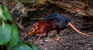 Black and rufous elephant shrew / Zanj elephant shrew (Rhynchocyon petersi) jumping shrew native to Kenya and Tanzania. Captive
