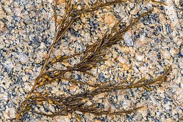 Japanese wireweed (Sargassum muticum), invasive brown seaweed originally from Japan, Normandy, France, June