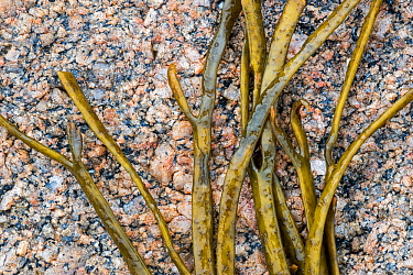 Thongweed / sea thong / sea spaghetti (Himanthalia elongata / Fucus elongatus), brown alga seaweed washed ashore on rocky beach, Normandy, France, June