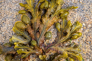Spiral wrack / flat wrack (Fucus spiralis), brown alga seaweed washed ashore on rocky beach, Normandy, France, June