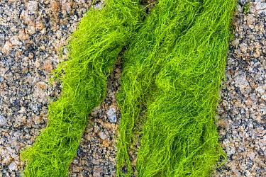 Cladophora rupestris, green alga washed on rocky beach, Normandy, France, June