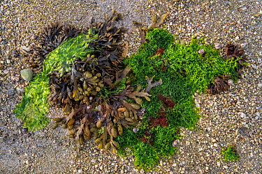 Gutweed (Ulva intestinalis / Enteromorpha intestinalis), sea lettuce (Ulva lactuca) and spiral wrack / flat wrack (Fucus spiralis) washed on beach, Normandy, France, June