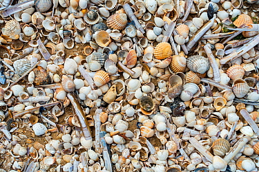 Complete and fragmented shells washed ashore on wrack zone / wrack line on sandy beach along the North Sea coast at low tide, Belgium, June