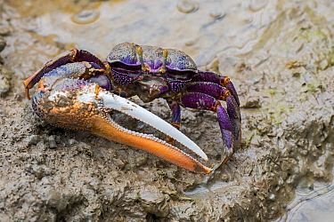 West African fiddler crab (Uca tangeri / Gelasimus cimatodus) male with huge claw on muddy beach, native to coast of West Africa. Captive