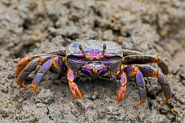 West African fiddler crab (Uca tangeri / Gelasimus cimatodus ) female on muddy beach at low tide, native to coast of West Africa. Captive