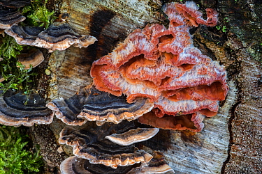 Trembling Merulius / jelly rot (Phlebia tremellosa / Merulius tremellosus) and turkey tail / many zoned polypore (Trametes versicolor) on tree stump, France, October