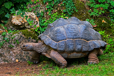Aldabra giant tortoise (Aldabrachelys gigantea / Testudo gigantea) native to the islands of the Aldabra Atoll in the Seychelles. Captive