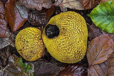 Common earthballs (Scleroderma citrinum / Scleroderma aurantium) on the forest floor in autumn, France, November