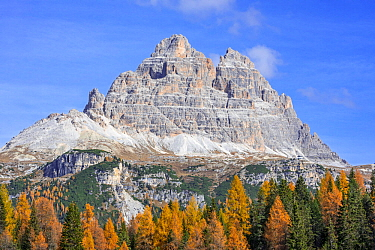 South face of the mountain Drei Zinnen / Tre Cime di Lavaredo and larch trees in the Tre Cime Natural Park in autumn, Dolomites, South Tyrol, Italy, October