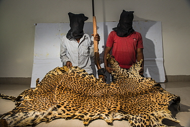 Leopard (Panthera pardus) skin seized by police. Held by men wearing black gauze hoods. Mumbai, India. April 2018.
