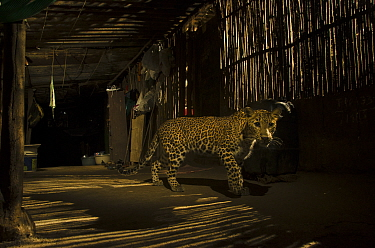 Leopard (Panthera pardus) in city at night, Mumbai, India. December 2018.