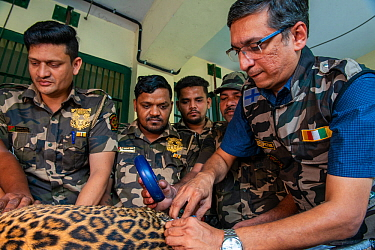 Rescue squad from the Forest Department microchipping a Leopard (Panthera pardus) Mumbai, Maharashtra, India. October 2018.