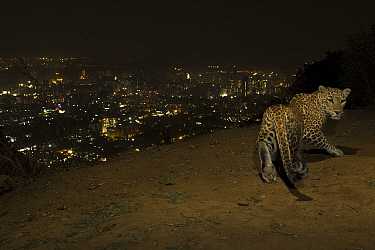 Leopard (Panthera pardus) at night with city lights behind, Mumbai, India. November 2018. Camera trap image.