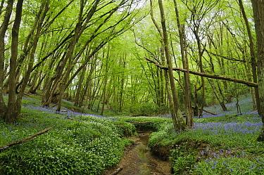 Ramsons or Wild Garlic (Allium ursinum) and Bluebells (Hyacinthoides non-scriptus) growing alongside Welland Ghyll, Glover's Wood Woodland Trust reserve, Charlwood, Surrey, England. April.