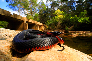 Red-bellied blacksnake (Pseudechis porphyriacus) female from the upper Pambula River, New South Wales, Australia.