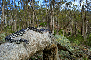 Inland Carpet Python (Morelia spilota metcalfei) adult basking on fallen log, Mount Meg, Victoria, Australia.