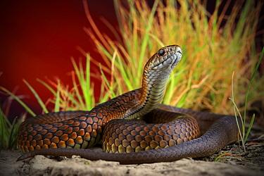 Lowland copperhead snake (Austrelaps superbus) sub adult female, upper Merri Creek in northern metropolitan Melbourne, Australia.
