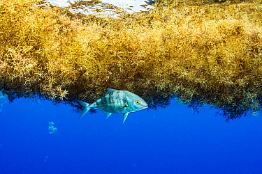 Jack fish (Eriola dumerili) taking shelter under a matt of sargassum in the Sargasso Sea.